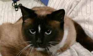 Chú mèo ăn trộm 600 món đồ
