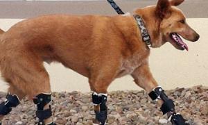Chú chó chạy được dù mất 4 bàn chân