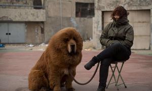 Người Trung Quốc khoe sự giàu có bằng chó ngao