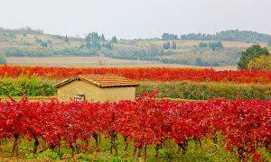 Nước Pháp đẹp như tranh mùa thu hoạch nho
