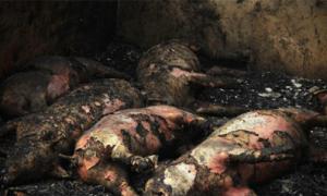 312 con lợn cháy đen trong chuồng vì pháo nổ