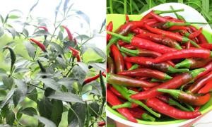 Cách trồng ớt bằng hạt cho quả sai trĩu
