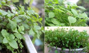 Mẹ 8x trồng cây gia vị trong nhà để vừa nấu ăn vừa chữa bệnh