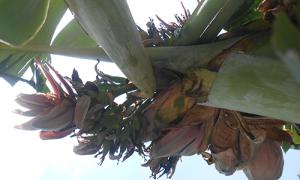Cây chuối ở Thanh Hóa nở 21 hoa