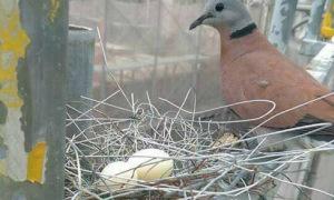 Chim ấp trứng trong tổ bằng sắt thép