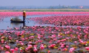 Đến Thái Lan đúng mùa hoa súng nở rực rỡ
