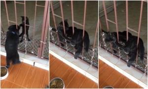 Mèo giúp chó 'vượt ngục' vào nhà