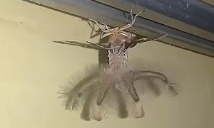 Sinh vật 'ngoài hành tinh' bám trên trần nhà ở Indonesia