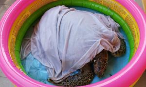 Rùa biển 12 kg dạt vào bờ