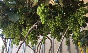 Nho bonsai chưng Tết giá 10 triệu đồng