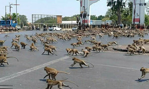 Hàng trăm khỉ đói tràn ra đường phố Thái Lan