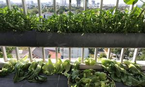 Mẹ 9X trồng cây trong ống nước ở ban công