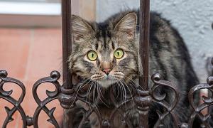 Mèo được tiêm thuốc chết sau khi nhiễm nCoV từ chủ