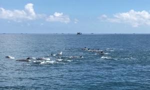 Đàn cá heo bơi tung tăng ở đảo Phú Quý