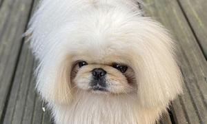 Chú chó nổi tiếng vì mái tóc bob