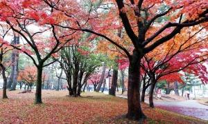 Giá tour nội địa mùa thu Nhật Bản 'rẻ như cho'