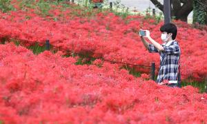 Biển hoa bỉ ngạn mùa thu ở Nhật Bản