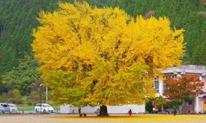 Cây ngân hạnh trăm tuổi 'trải thảm vàng' mùa thu Nhật Bản