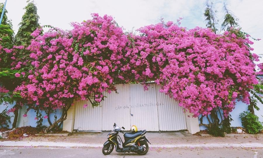 Giàn hoa giấy hồng rực gây sốt ở Vũng Tàu