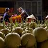 Gia đình thu hoạch dưa