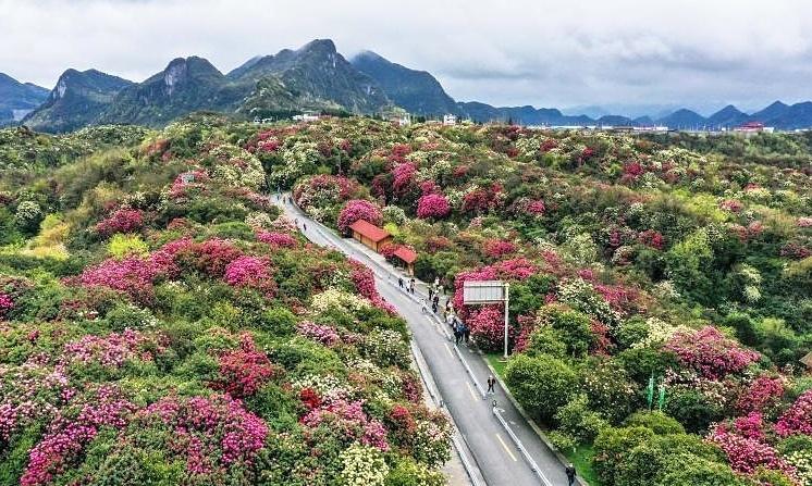 Biển hoa đỗ quyên tự nhiên lớn nhất thế giới