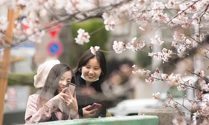 Lễ hội hoa anh đào Nhật Bản bị hủy bỏ