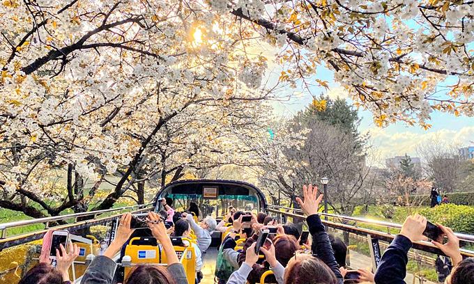 Trải nghiệm đi bus mui trần ngắm hoa anh đào