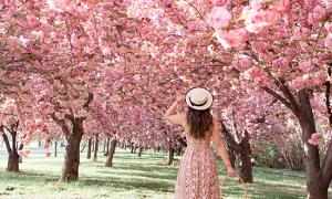 Hoa anh đào Washington nở sớm vì biến đổi khí hậu