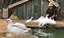 Tài tử hạng A Trung Quốc về quê chăn vịt