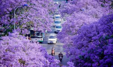Hoa phượng nhuộm tím thành phố ở Trung Quốc