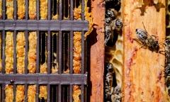 Vì sao keo ong được ví là kháng sinh tự nhiên?