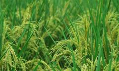 Trung Quốc trồng 'lúa khổng lồ' cao hơn 2 mét