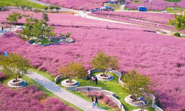 Trung Quốc nhuộm sắc cỏ hồng mùa thu